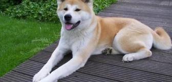 【中国】日本から46万円で買い付けた秋田犬、盗まれ食べられる