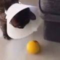 子ネコの目の前に「ボール」が転がっていく。…ていっ! → 今日の子猫は本調子ではないようです…