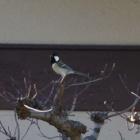 『四十雀(シジュウカラ) ~庭に来る野鳥~』の画像