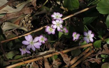 『春の山野草・花の三姉妹』の画像