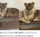 メスなのに「たてがみ」生えたライオン 安楽死させる 米動物園