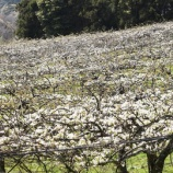 『国東の食環境(170)梨の花(1)』の画像