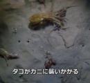 ワタリガニに襲いかかるタコ もはやワタリガニは餌になりウンコに変わる運命 その時意外な結末が!!