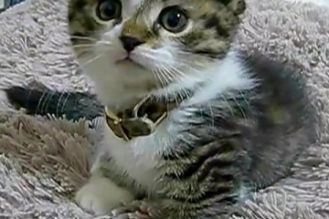 目がくりくりしてとってもかわいいwwwマンチカン子猫