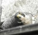 地上約60メートルのベランダでハヤブサが営巣し3羽のヒナが誕生 石川県庁