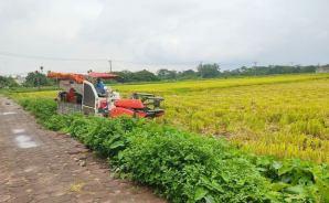 ベトナムは今、稲刈りの季節