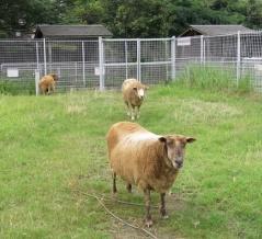 ヒツジたちの草刈り