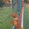 イヌの「おもちゃ」が金網に引っかかっていた。届かないんだワン。こうやって取るんだよ → 飼い主が教えると…