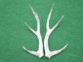 堂本剛 部屋に鹿のツノ飾る