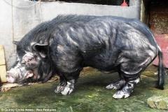 【もののけ姫】 中国でタタリ神になり始めてる豚が発見される