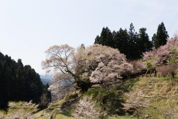 桜めぐり【2014】