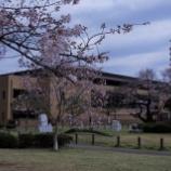 『東大和公園の桜Ⅱ』の画像