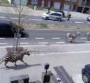 【動画】シマウマが脱走。道路を走り回る