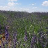 『ラベンダー畑』の画像