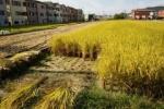 交野の田んぼの稲刈りがピーク!~稲刈りが始まると本格的な秋がくる~