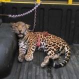 『保護されたジャガーの赤ちゃん』の画像