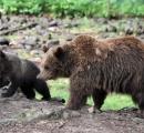 ヒグマの子育て期間が1年延長されていた。子熊と一緒だと撃たれないことに気付いたか