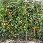 庭でミニトマト育ててるんだが朝熟してる実が夕方に消えててワロタwwwwww
