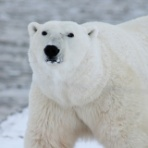 Polar Bear's Blog