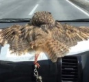 車のダッシュボードでぺったんこ 出勤中のフクロウ、日向ぼっこでとろけてしまう