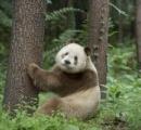 【画像】怪奇!世界で5頭しかいない不思議パンダに世界が注目