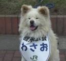 不細工だけどかわいい、秋田犬「わさお」 新年度も観光駅長に任命