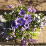 『アネモネと宿根ネメシアのブルーな寄せ植えで3ヶ月間満開する寄せ植えを作りました。』の画像