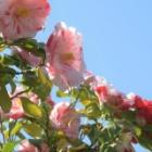 『春は椿・9 蝦夷錦』の画像