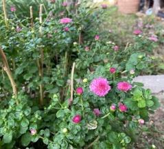 *二年越しのバラ咲きマム今年も咲き始めました 寒いから