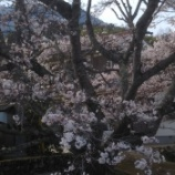 『桜の木の下でお花見しながら「たまごとじ」を読むのも乙かもしれませんよ。』の画像