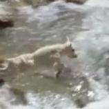 『急流に飛び込む勇敢な山羊』の画像