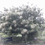 『樹木から白いひげが噴出している??』の画像