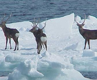 【画像】エゾシカ、国後島に生息 流氷に乗り漂着か 生態系一気に破壊の恐れ