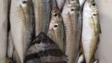 【悲報】ワイ釣り初心者、釣った魚が何かわからない(※画像あり)