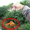 【動画】肉食魚のいる水路に金魚を泳がせしたらどうなる!? [検証]