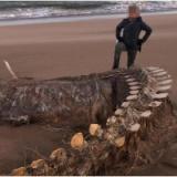 【UMA】ネッシーか?スコットランドの海岸に巨大な骨が打ち上げられる