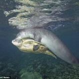 『ウミガメの寄り添うアザラシ』の画像