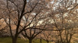 桜撮ったから評価してくれwww(※画像あり)