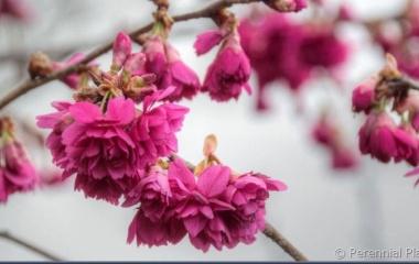 『寒緋桜、八重咲きの色鮮やかな桜です。』の画像