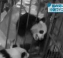 パンダが檻の間に挟まる