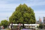 JR河内磐船駅。灯台もとくらし!どどーーんとそびえるかっこいい木がある!