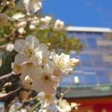 『【写真】Xperia5 - お茶の水~明治神宮 - 梅、咲きました!』の画像