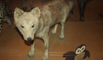 【画像】あの絶滅したニホンオオカミ、とんでもない姿だったwwwwwww