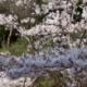 4/6日の桜情報です