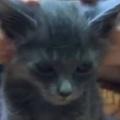 子ネコの大きな耳をマッサージしてみた。…え?もう終わり? → 毛玉の顔はこうなります…