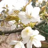 『桜も咲き始め』の画像