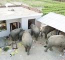 ゾウの集団、食べ物を漁り民家を破壊