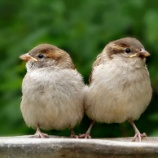 『冬のスズメは太っててめっちゃカワイイ』の画像