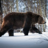 『全国各地でクマが大量に出現している理由をマタギが語った』の画像