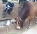 【動画】インドで小さな山羊と巨大な牛が街中で決闘!